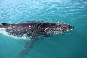 http://www.dreamstime.com/stock-image-humpback-whale-seas-australia-image32492881