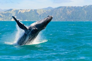 http://www.dreamstime.com/royalty-free-stock-image-humpback-whale-jumping-out-water-image26586806
